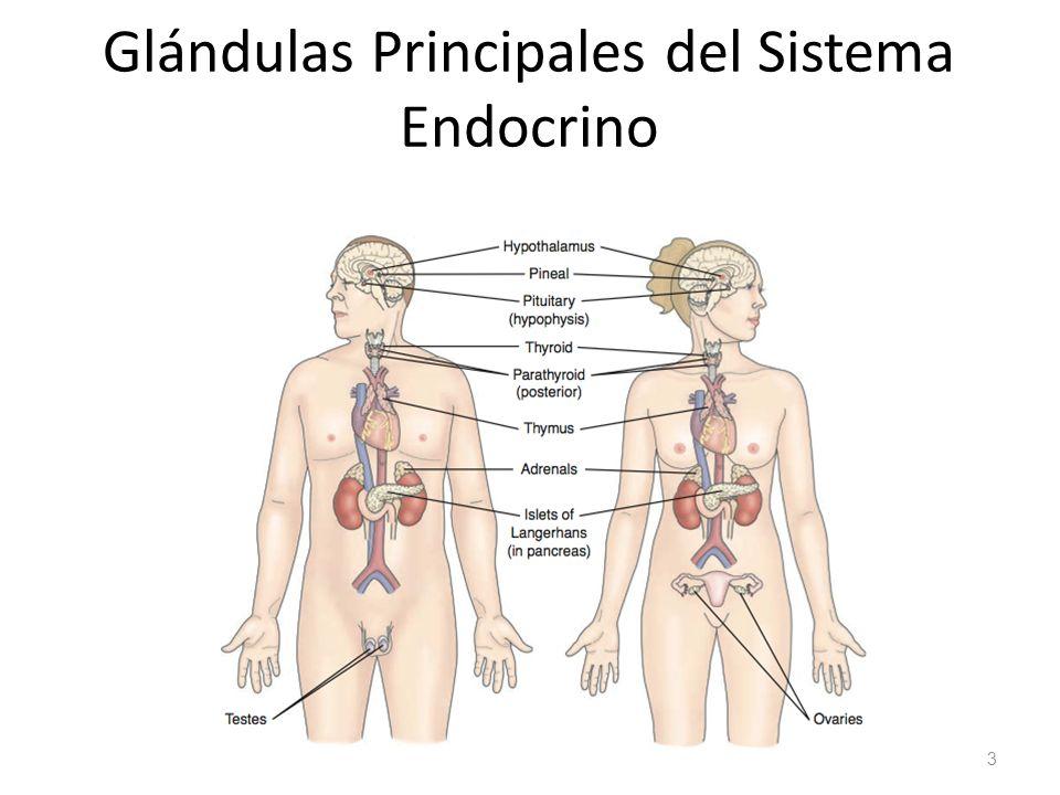 REPASO DE LA ANATOMIA Y FISIOLOGIA DEL SISTEMA ENDOCRINO - ppt video ...
