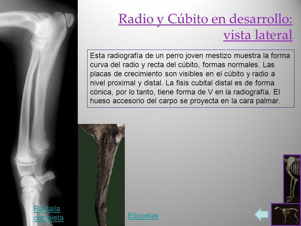 Radiología del Perro: miembro torácico - ppt video online descargar
