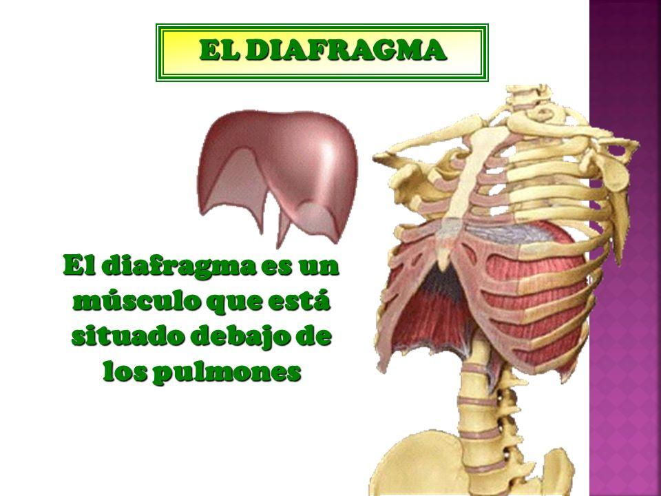 Perfecto El Diafragma Inspiración - Imágenes de Anatomía Humana ...