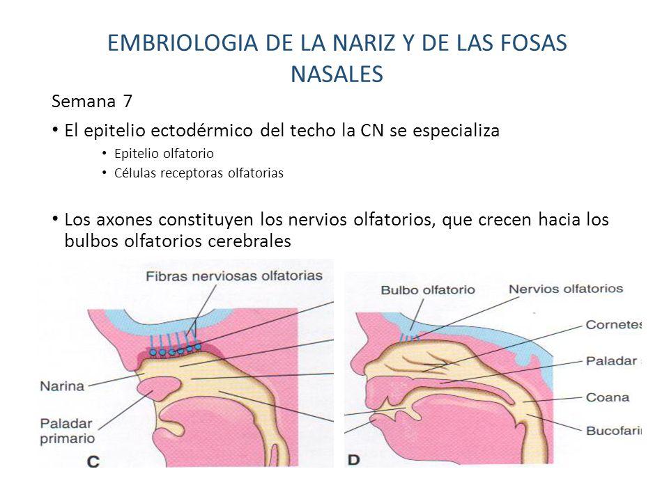 Lujo Cornetes Nasales Colección de Imágenes - Imágenes de Anatomía ...