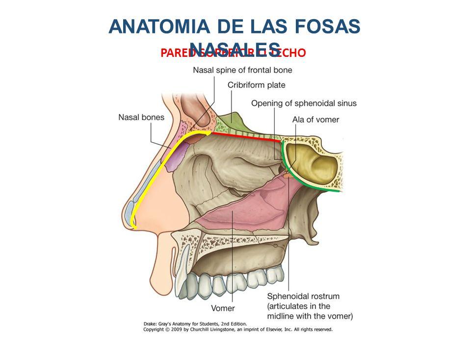 Famoso Fosas Nasales Regalo - Anatomía de Las Imágenesdel Cuerpo ...