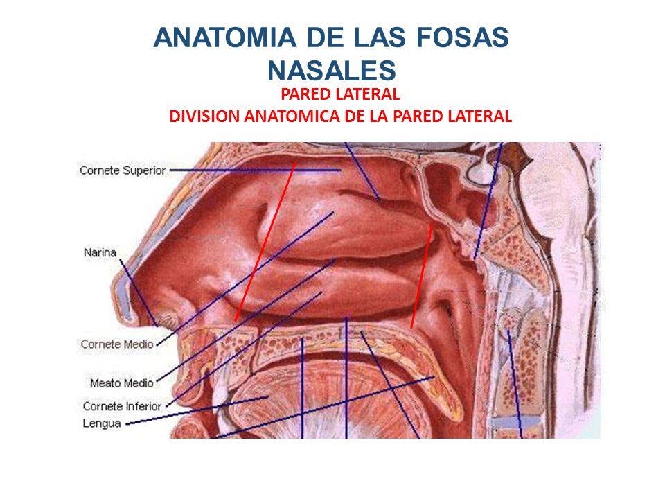 Contemporáneo Anatomía Pared Nasal Lateral Adorno - Anatomía de Las ...
