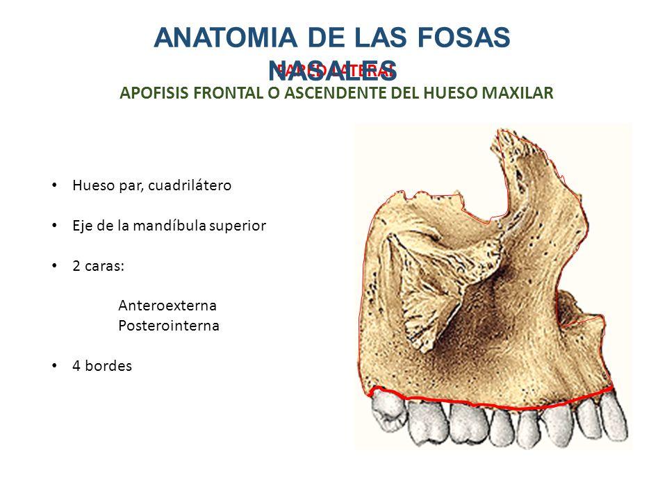Dorable Huesos Nasales Anatomía Inspiración - Imágenes de Anatomía ...