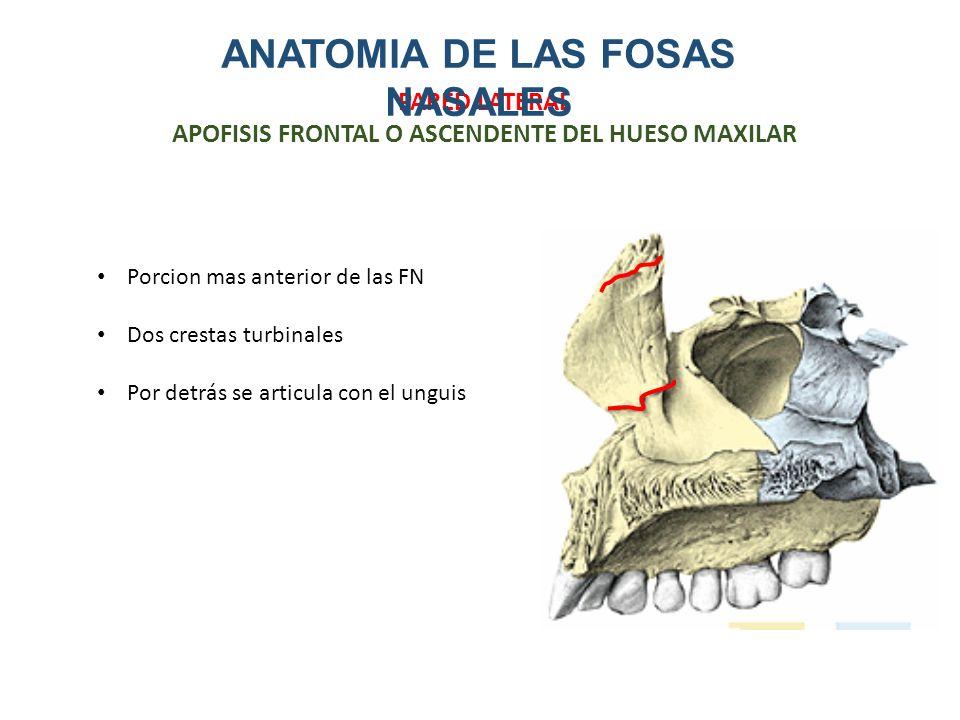 ANATOMIA DE LA NARIZ Y FOSAS NASALES - ppt descargar