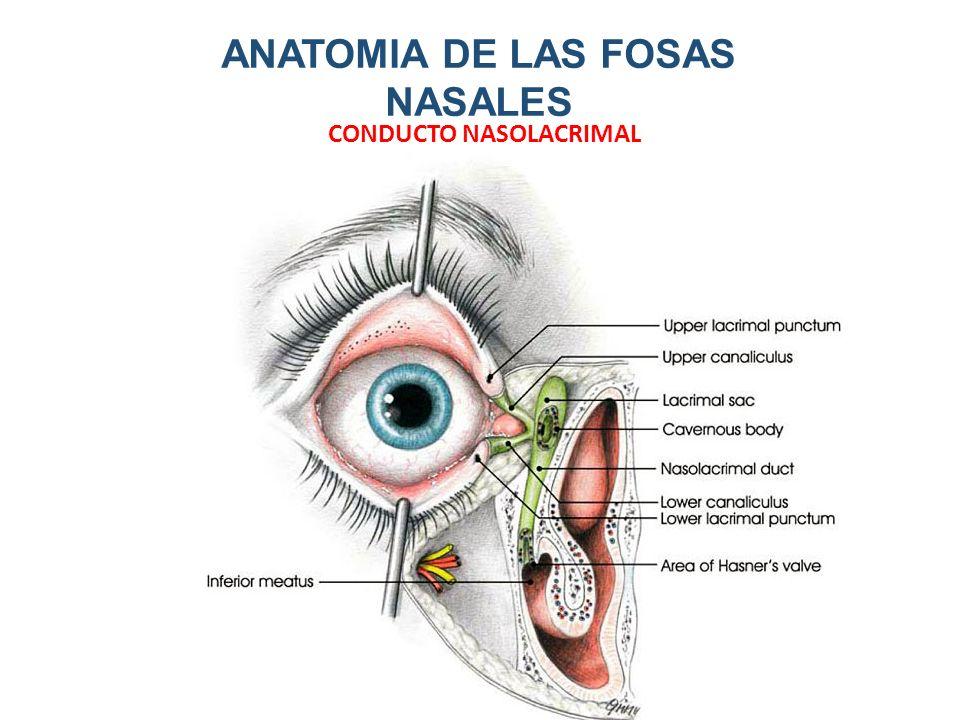 Lujo Anatomía Fosa Colección - Imágenes de Anatomía Humana ...