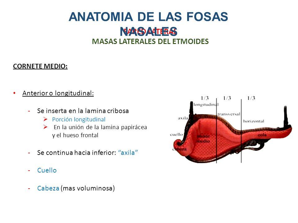 Único Anatomía Cornete Medio Colección - Imágenes de Anatomía Humana ...