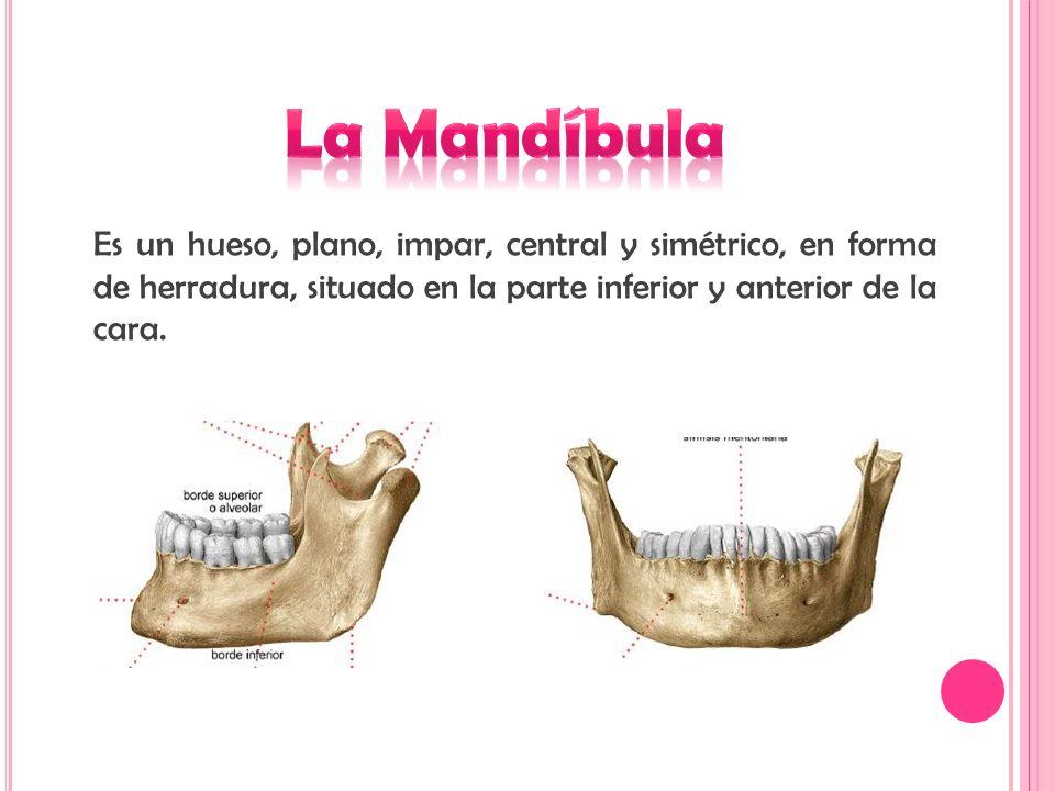 La Mandíbula • Daniela Pinilla Díaz • Obel Alberto Ramírez - ppt ...