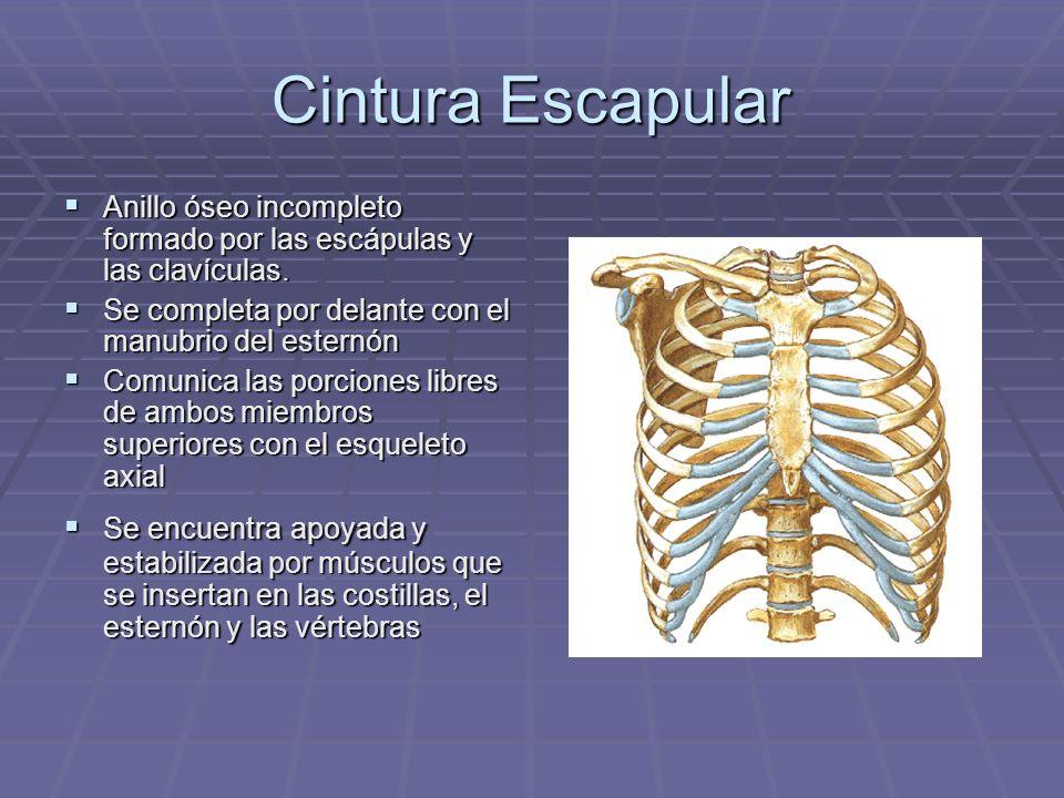 Cintura Escapular y Hombro - ppt video online descargar
