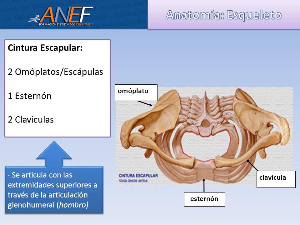Fantástico Anatomía Del Omóplato Componente - Imágenes de Anatomía ...