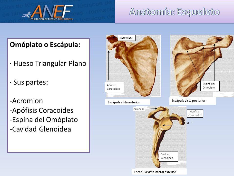 Bonito Acromion De La Escápula Inspiración - Imágenes de Anatomía ...
