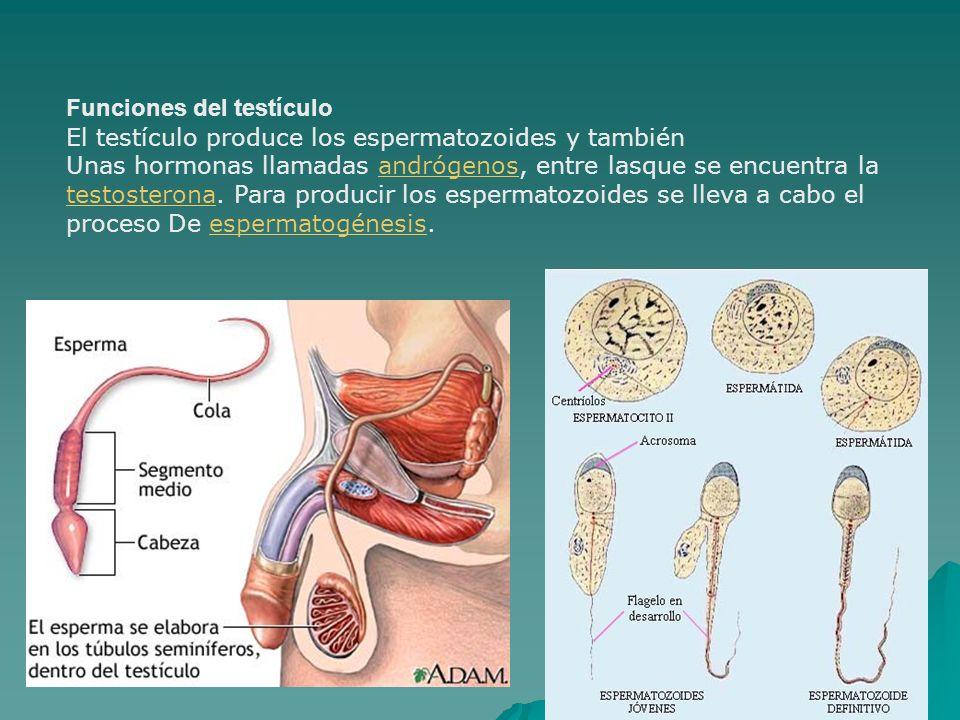 CANCER DE TESTÍCULO. - ppt video online descargar
