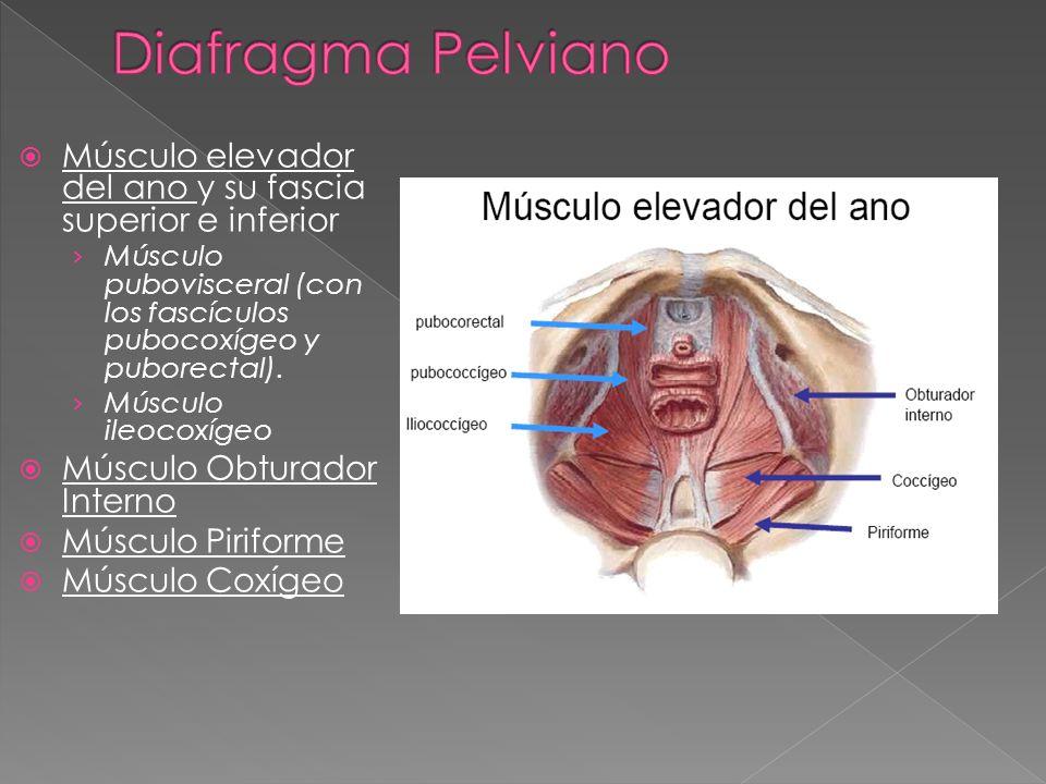 MUSCULOS DEL ABDOMEN CONDUCTO INGUINAL PELVIS PERINE - ppt video ...