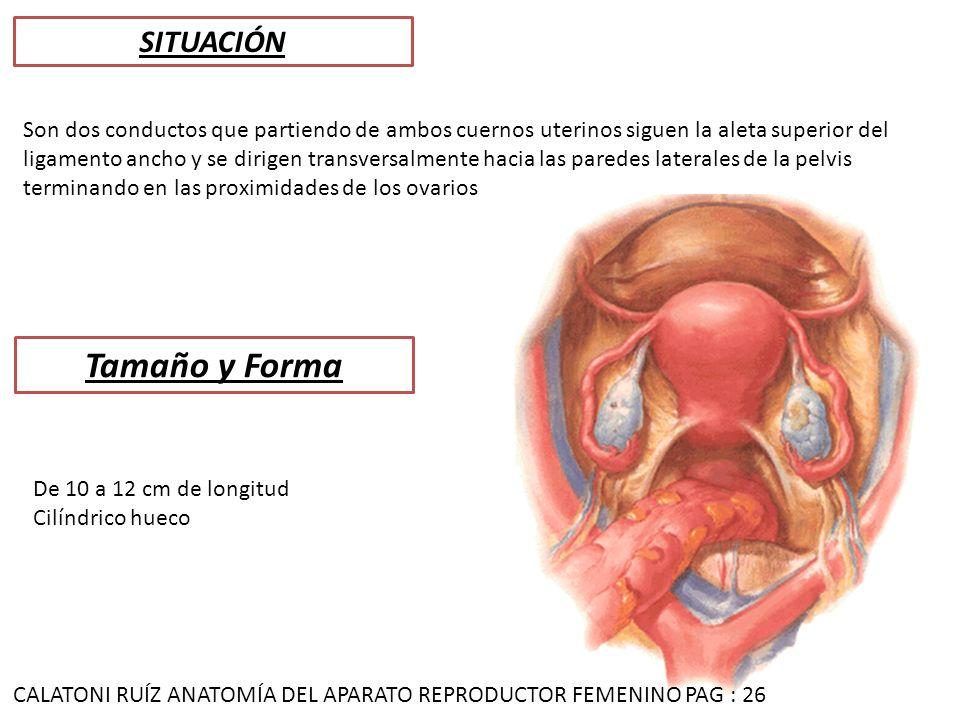 Hermosa Ligamento Ancho Elaboración - Anatomía de Las Imágenesdel ...