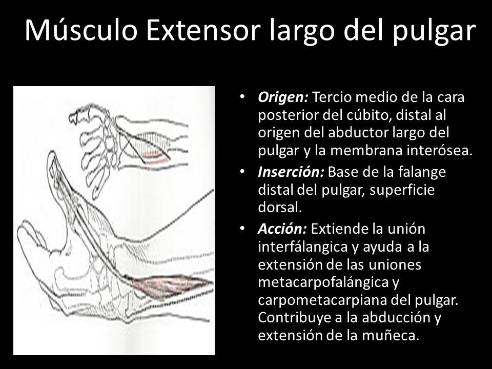 Bonito Pulgar Anatomía Del Tendón Extensor Modelo - Imágenes de ...