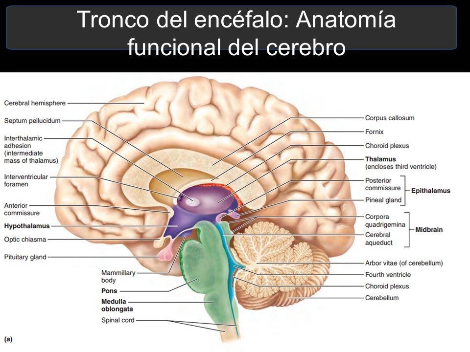 Atractivo Anatomía Cerebral Izquierdo Patrón - Imágenes de Anatomía ...