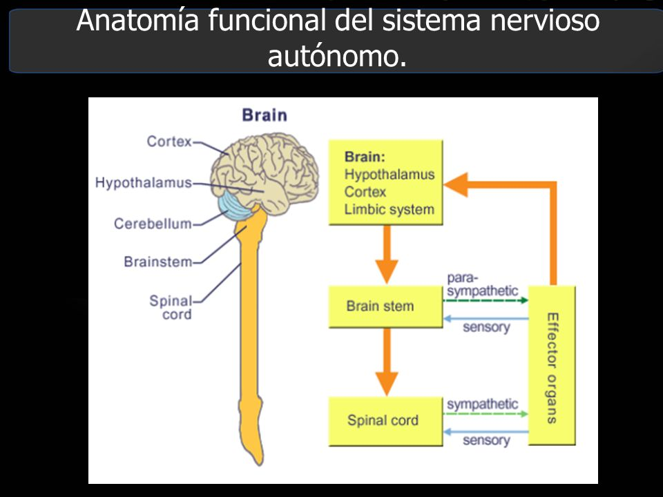 Magnífico Anatomía Del Sistema Nervioso Autónomo Ornamento ...
