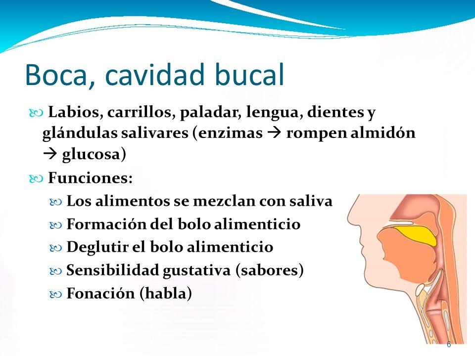 Excelente Anatomía De La Boca Y Los Dientes Molde - Anatomía de Las ...