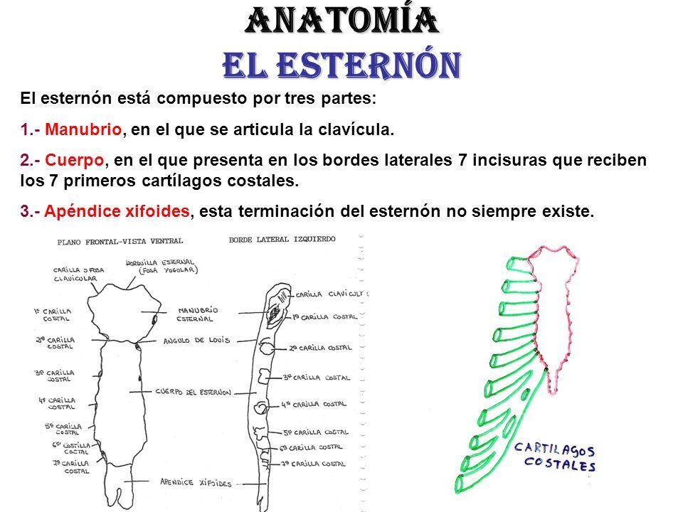 Lujo Esternón Anatomía Festooning - Imágenes de Anatomía Humana ...