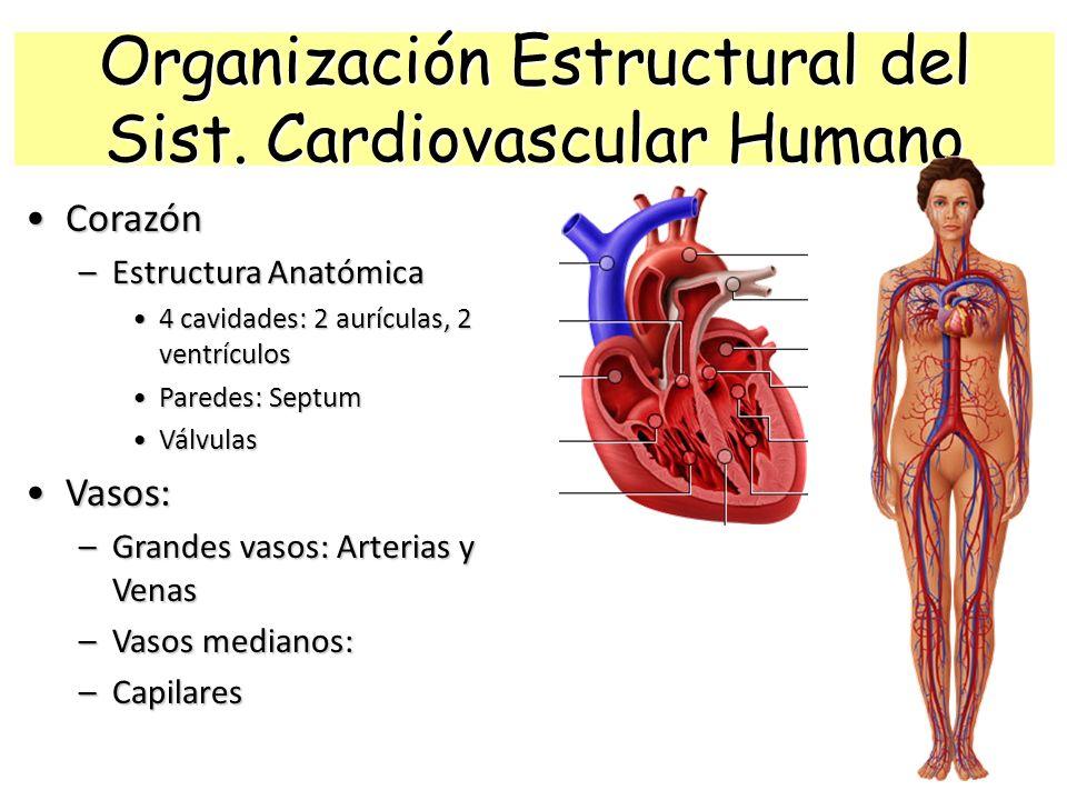 FISIOLOGÍA DEL APARATO CARDIOVASCULAR (circulatorio) - ppt descargar