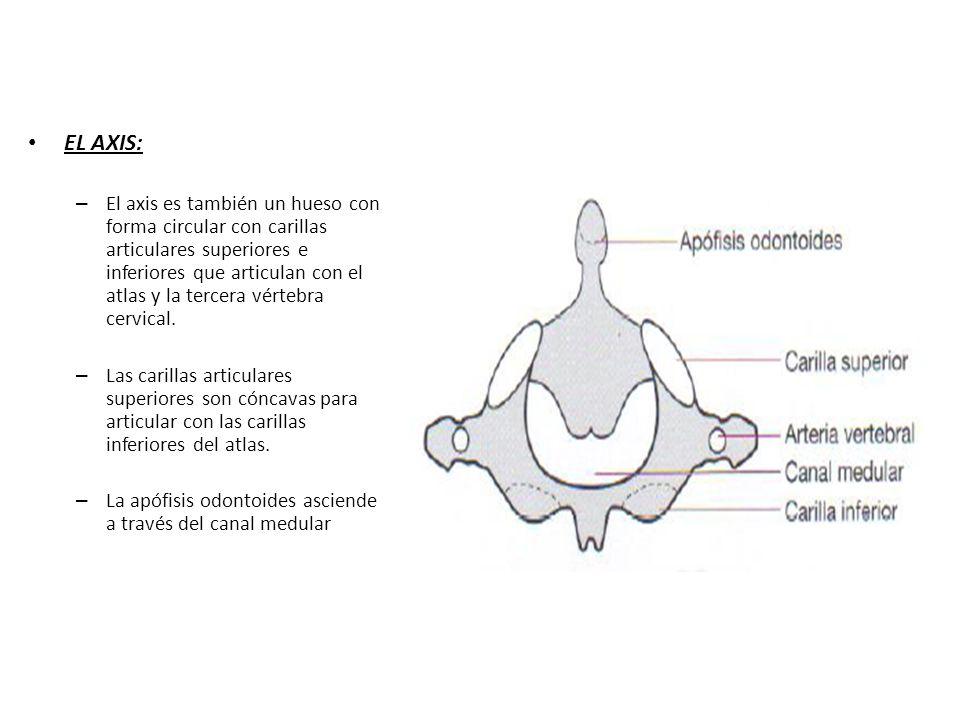 La columna vertebral, eje fundamental del movimiento corporal - ppt ...