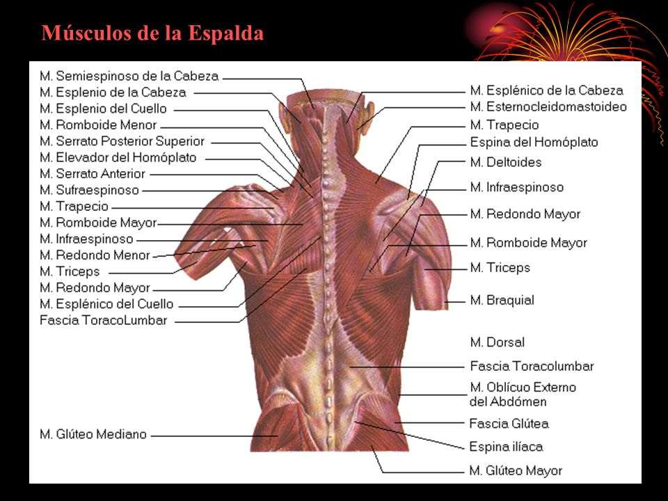 Sistema Muscular. - ppt descargar