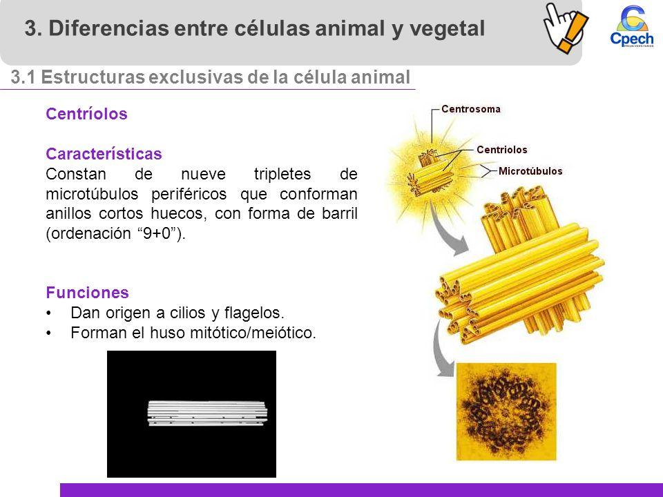Células Eucariontes Células Animales Y Vegetales Ppt