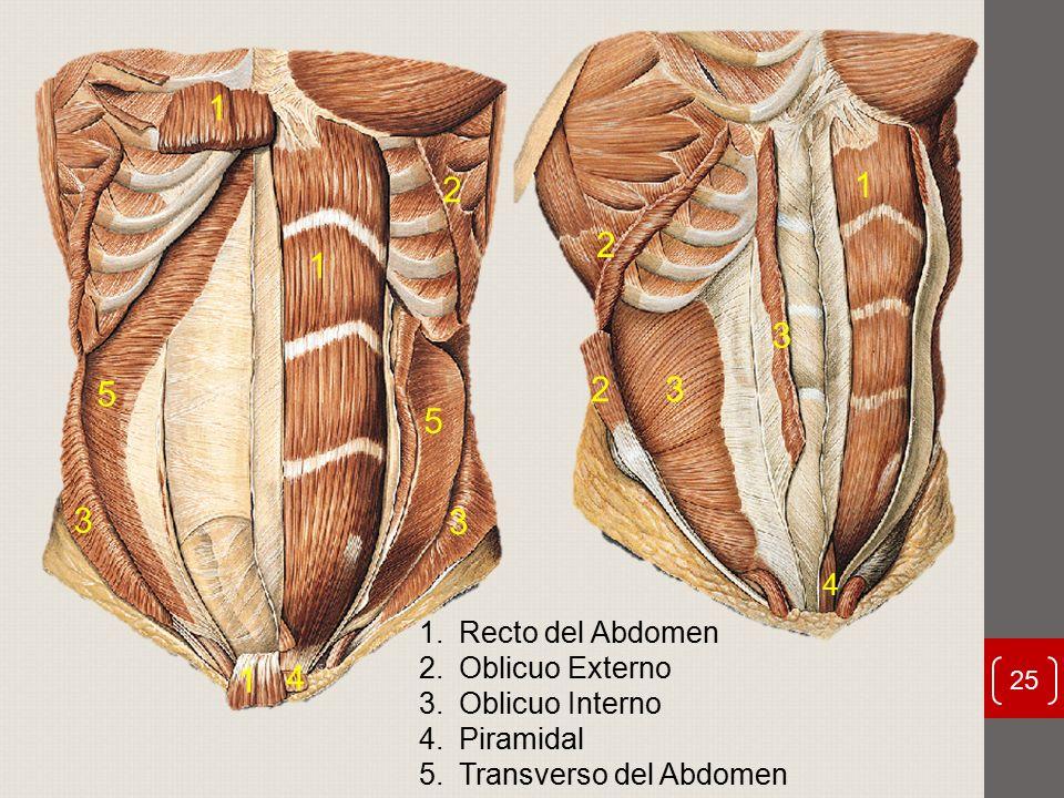 Vistoso Oblicuo Abdominal Adorno - Anatomía de Las Imágenesdel ...