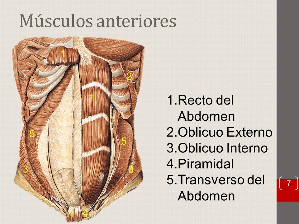 Lujo Función Del Oblicuo Externo Imágenes - Anatomía de Las ...