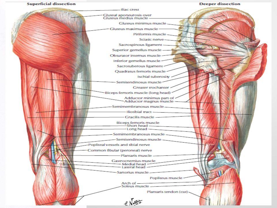 Encantador Posterior Músculos Del Muslo Foto - Imágenes de Anatomía ...