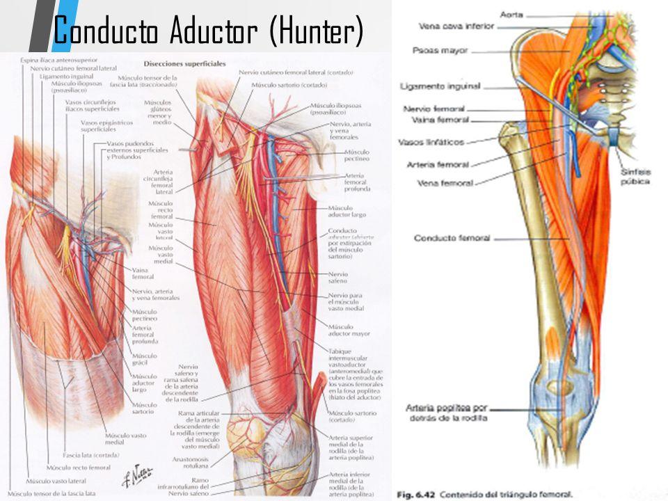 Bonito Anatomía De Superficie Arteria Femoral Regalo - Imágenes de ...