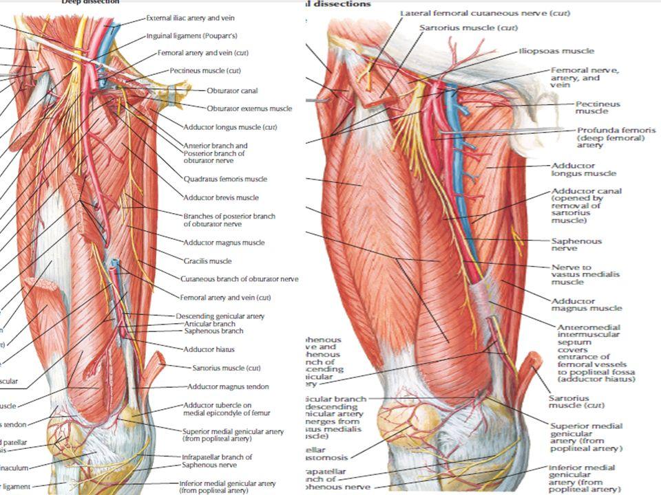 Muslo Curso Intensivo de Anatomía 2016 Luis Iván Serrano G. - ppt ...