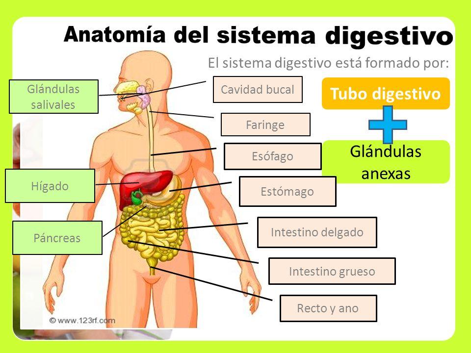 Anatomia Del Sistema Digestivo | www.imagenesmy.com