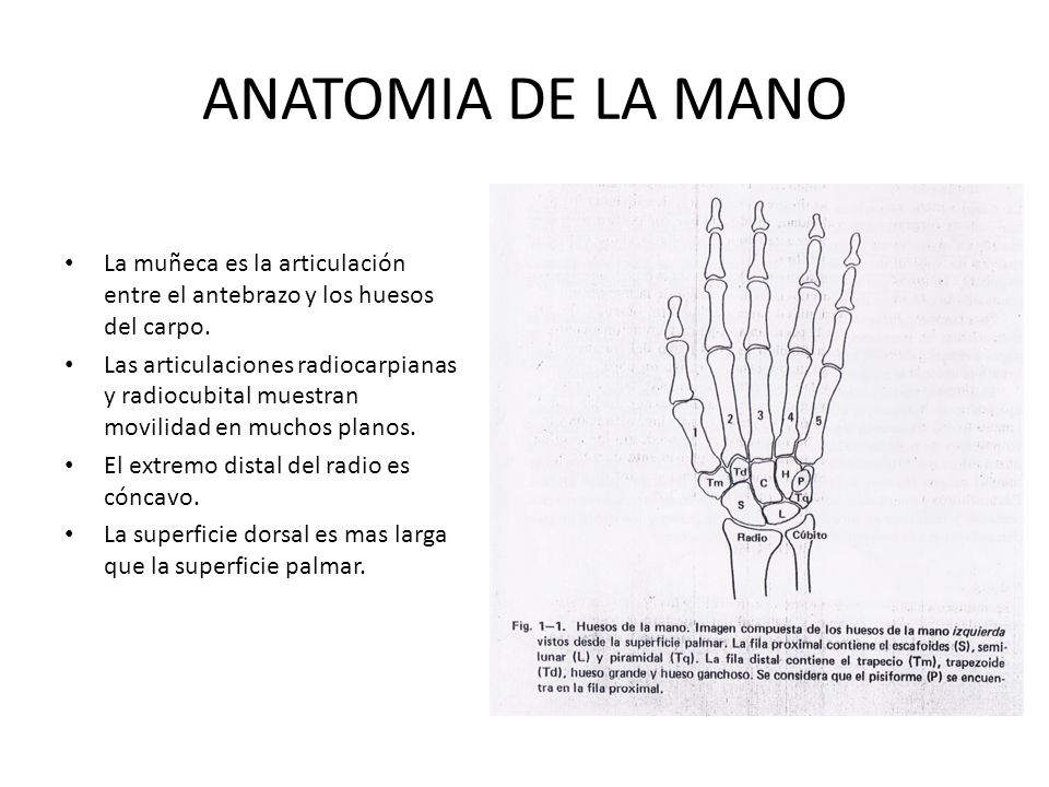 LA MANO. - ppt video online descargar