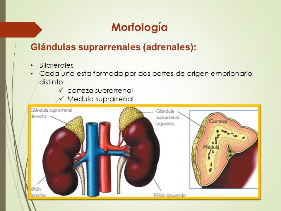Lujoso Imágenes De La Glándula Suprarrenal Adorno - Anatomía de Las ...