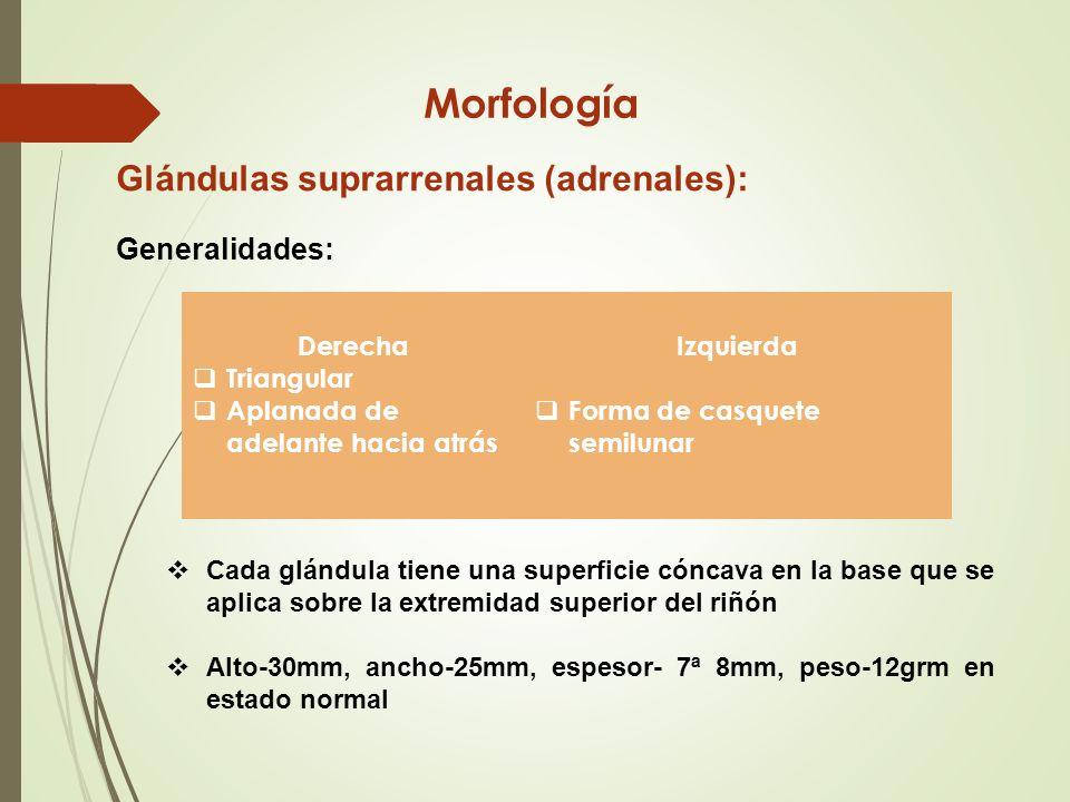 Glándulas Suprarrenales - ppt video online descargar