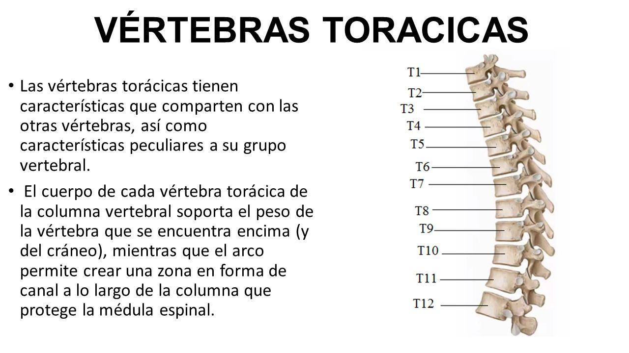 Increíble Columna Vertebral T12 Composición - Anatomía de Las ...