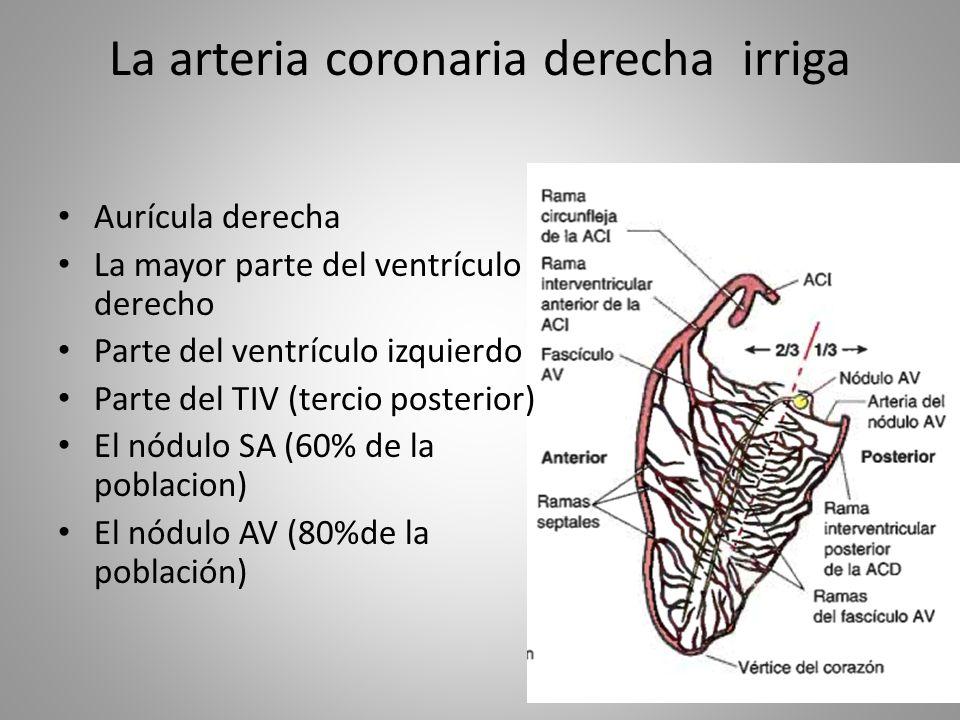 Excepcional Anatomía De La Arteria Coronaria Derecha Ideas ...