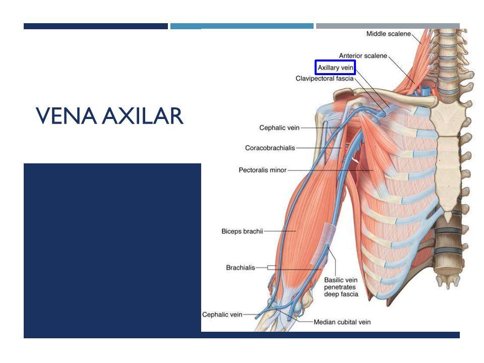 Dorable Vena Axilar Composición - Anatomía de Las Imágenesdel Cuerpo ...