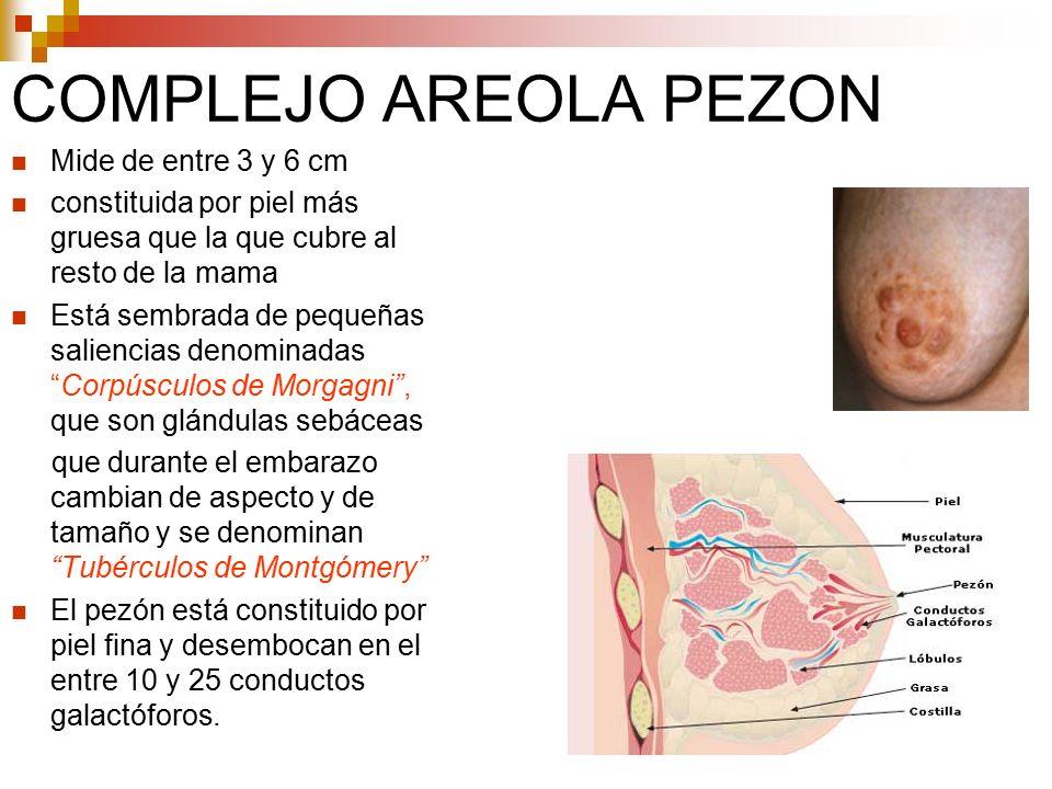 ANATOMIA DE LA MAMA. - ppt descargar