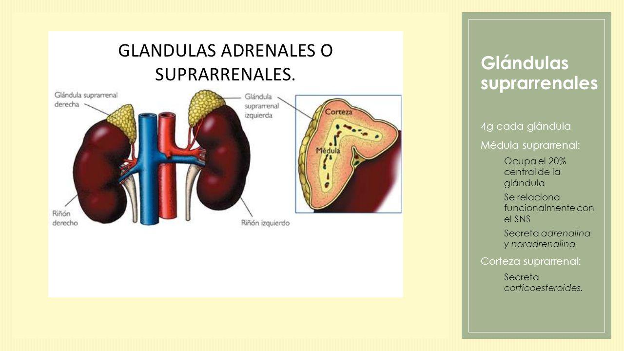 HORMONAS CORTICO- SUPRARRENALES - ppt descargar