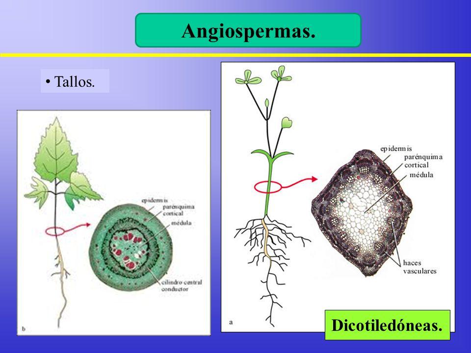 Vistoso Anatomía Del Tallo Modelo - Anatomía de Las Imágenesdel ...