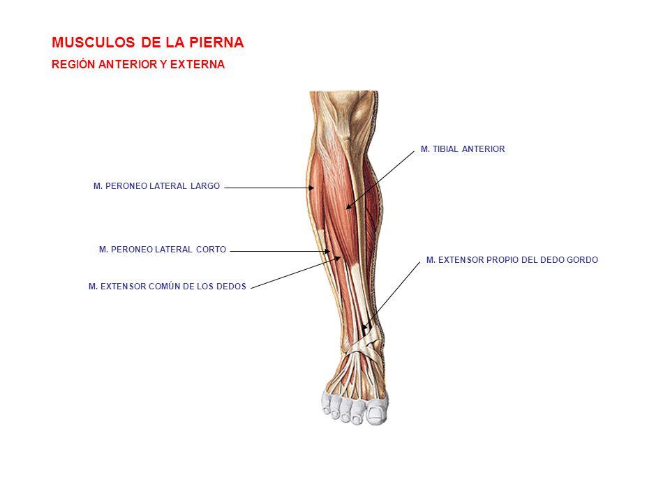 Excelente Músculo Flexor Largo Del Dedo Gordo Elaboración - Anatomía ...