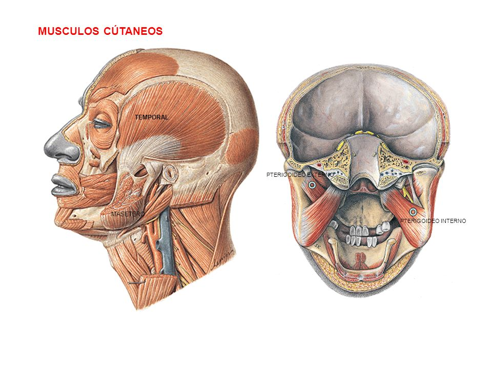 Musculos C Taneos Temporal Masetero Pterigoideo Externo