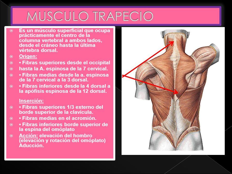 Perfecto Músculos Anatomía Omóplato Regalo - Anatomía de Las ...