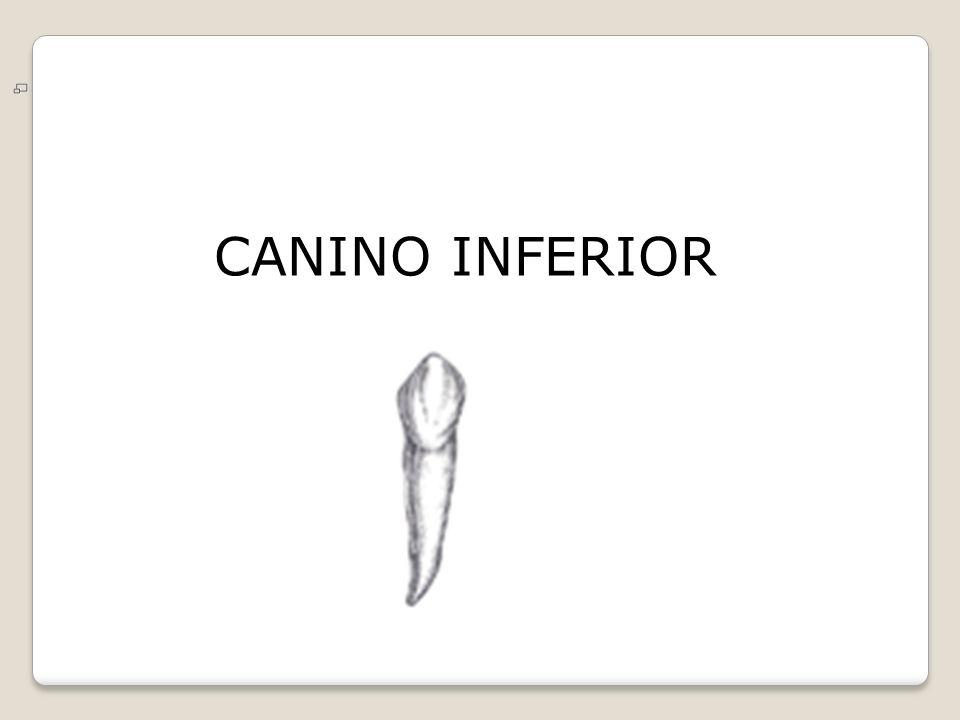 CANINOS SUPERIORES E INFERIORES - ppt video online descargar