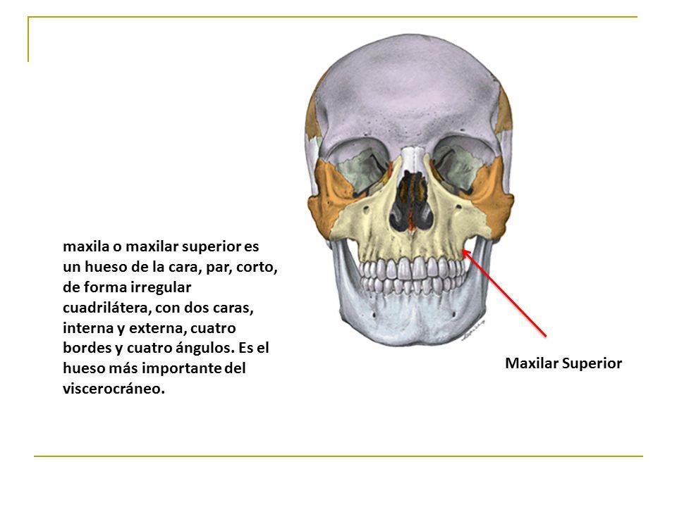 Increíble Anatomía Huesos Faciales Ideas - Imágenes de Anatomía ...