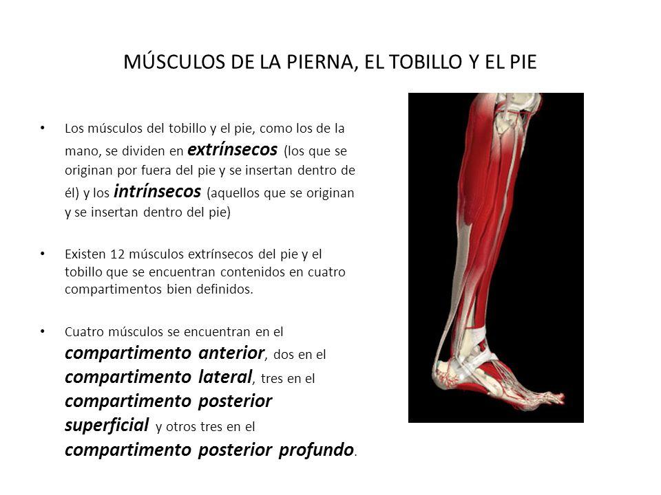 Lujo Los Músculos De Los Pies Festooning - Anatomía de Las ...
