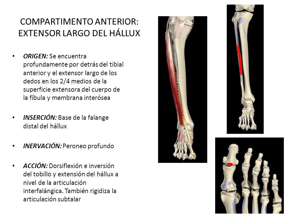 Contemporáneo Origen Y La Inserción De Tibial Anterior Regalo ...
