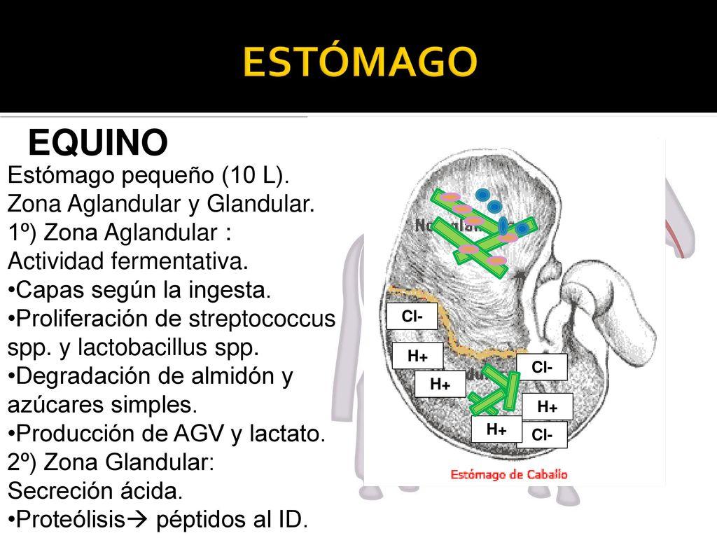 TEÓRICO DIGESTIVO DE MONOGÁSTRICOS - ppt descargar