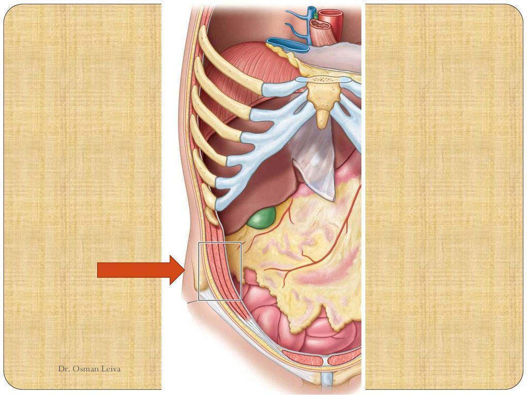 Pared anterolateral del abdomen (anatomía Clínica de Moore) - ppt ...